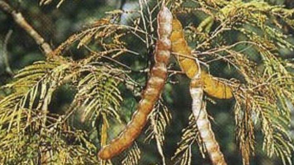 El cebil, una de las plantas comunes con efectos alucinógenos.
