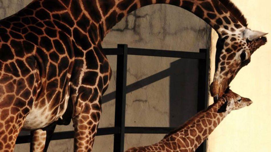 La nueva jirafa del Zoo porteño espera por un nombre que le asignen los chicos visitantes.