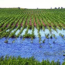 flood-corn