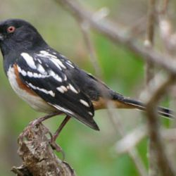 spotted_towhee
