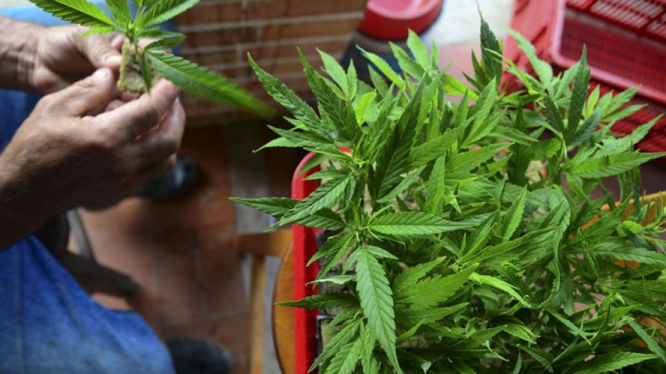 El Gobierno reglamentó en forma parcial la ley de cannabis medicinal