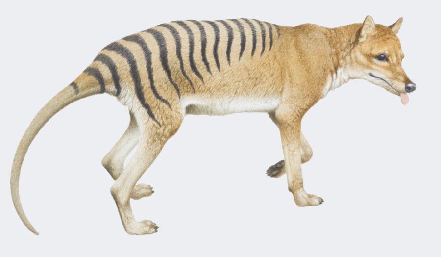 Intentan Revivir Al Tigre De Tasmania