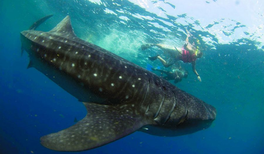 swimming-with-whale-sharks-in-isla-holbox
