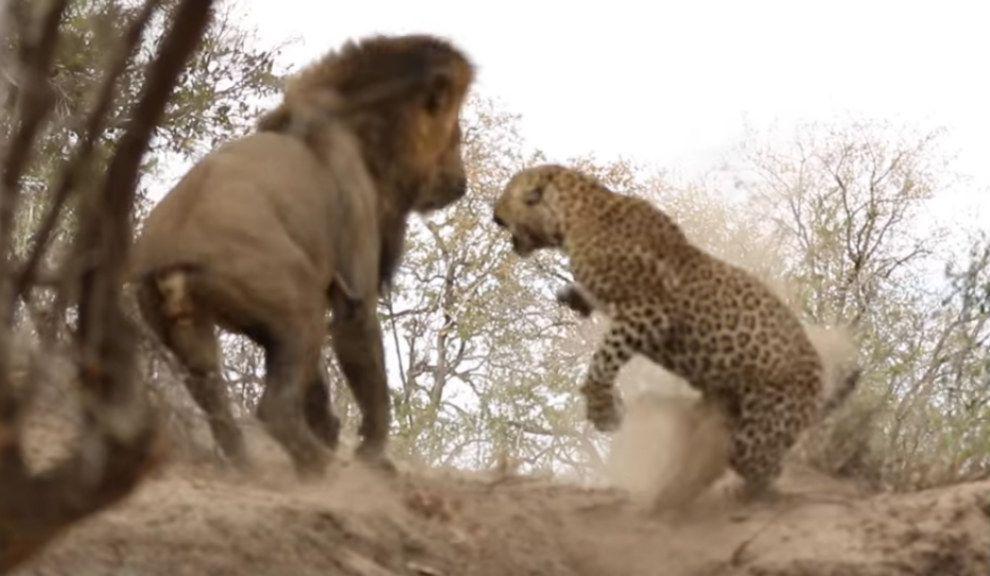 Weekend Le 243 N Ataca Por Sorpresa A Un Leopardo