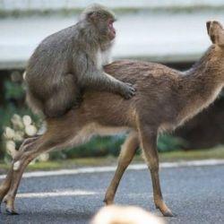 macaco-ciervo