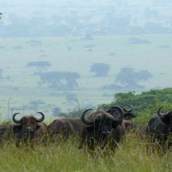 Búfalos en el Parque Nacional Queen Elizabeth en Uganda