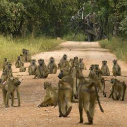 Un grupo de monos en una carretera del Parque Nacional Gorongosa en Mozambique