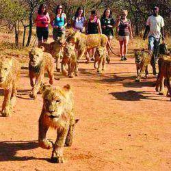 pasear-con-leones