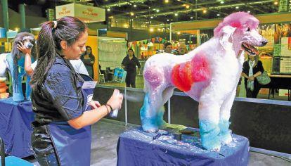 Bucles y tintura. Un caniche en proceso de peinado, durante un concurso en la exposición Nuestros caballos y nuestros perros.