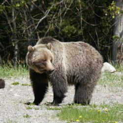 Madre grizzly