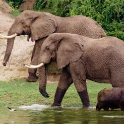Chimpanc_s_y_elefant_55203968(6)