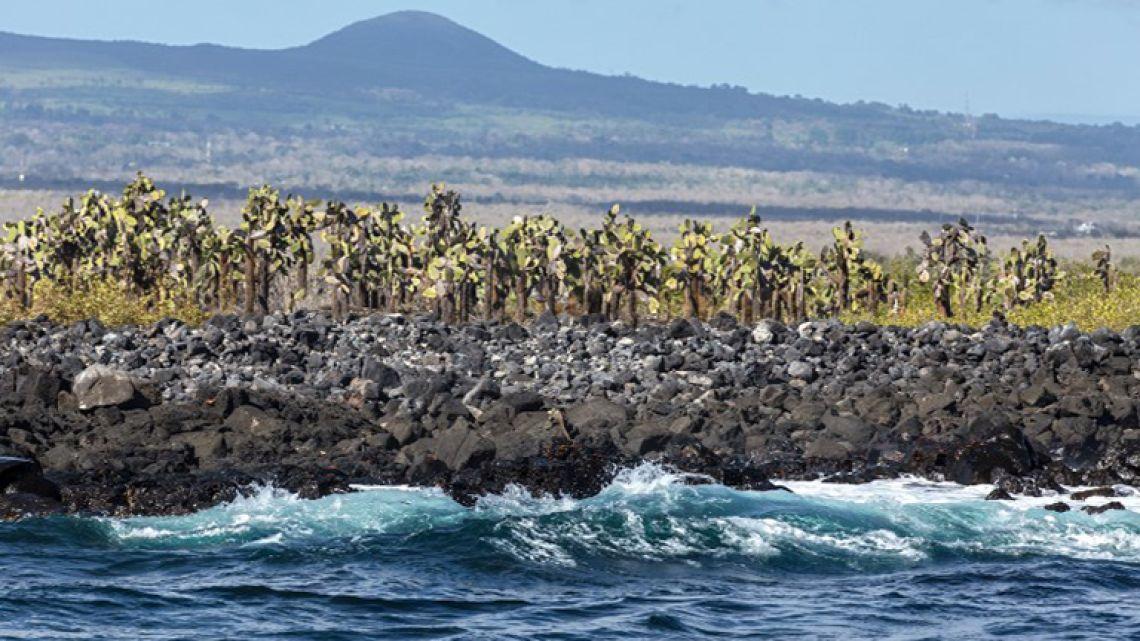 View of giant cactuses (opuntia echios) that grow next to the coastline in the Santa Cruz Island, Galapagos, Ecuador, on January 20, 2018.