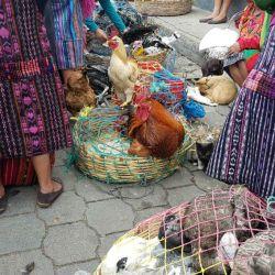 Chichi Guate 5