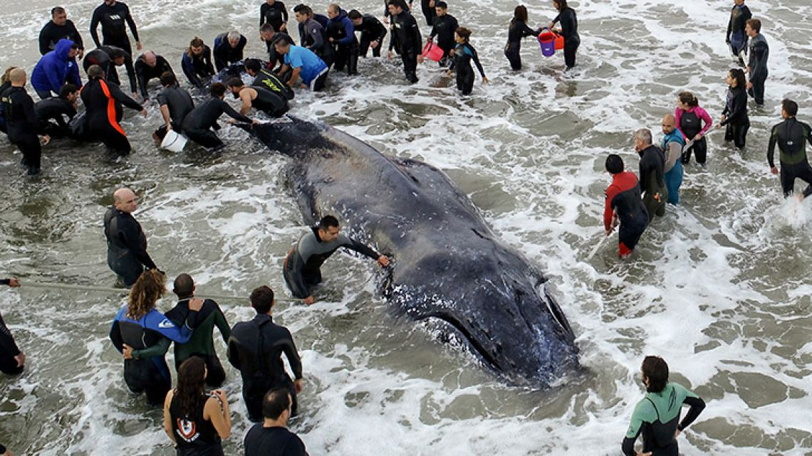 Members of the Naval Prefecture and volunteers work on rescuing a stranded humpback whale in Mar del Plata.