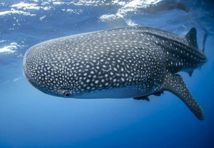 tiburon ballena viaje 20180501