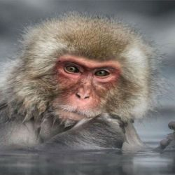 10 macaco-japones