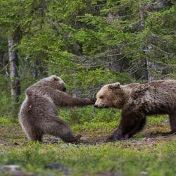 12 oso-pardo