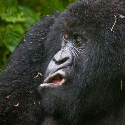 13 gorila