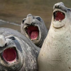2 elefantes-marinos