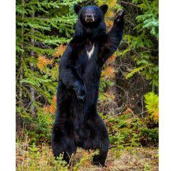 23 oso-negro-americano