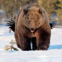 27 oso-con-alas