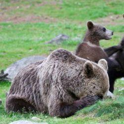 38 oso-fatigado