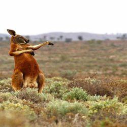 5 canguro