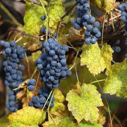 03-bonarda-cepas-vinos-argentinos-bonarda