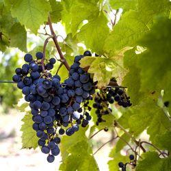 04-cepas-vinos-argentinos-cabernet