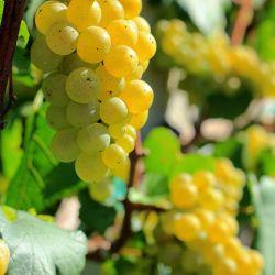 06-cepas-vinos-argentinos-chardonnay