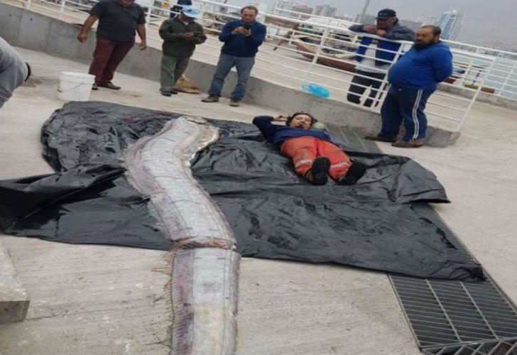 El ejemplar fue pescado en el borde costero de Iquique.