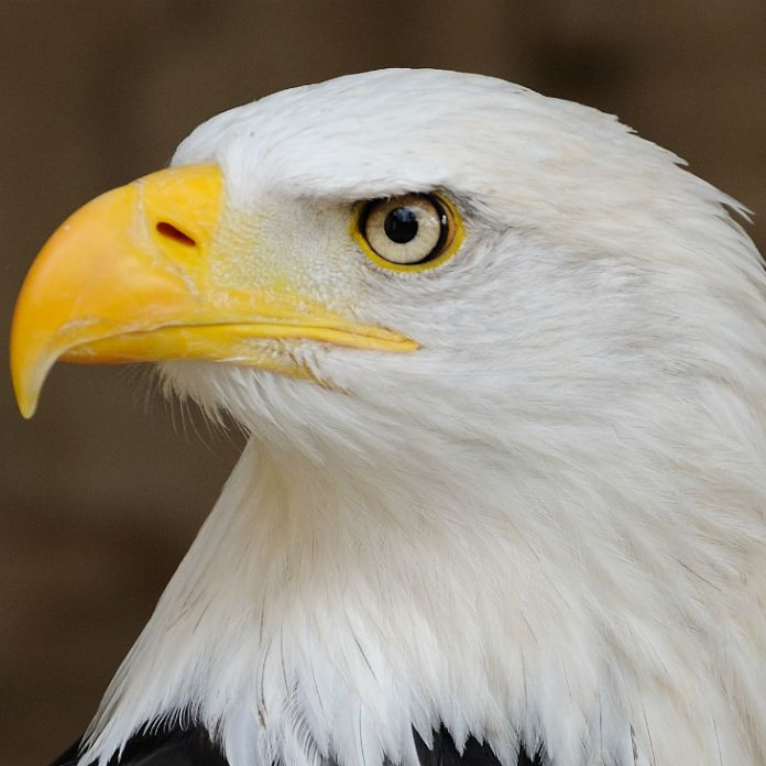 Gobierno de EE.UU. busca modificar ley que salvó al águila calva ...