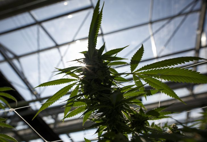 A flowering cannabis plant grows in a greenhouse