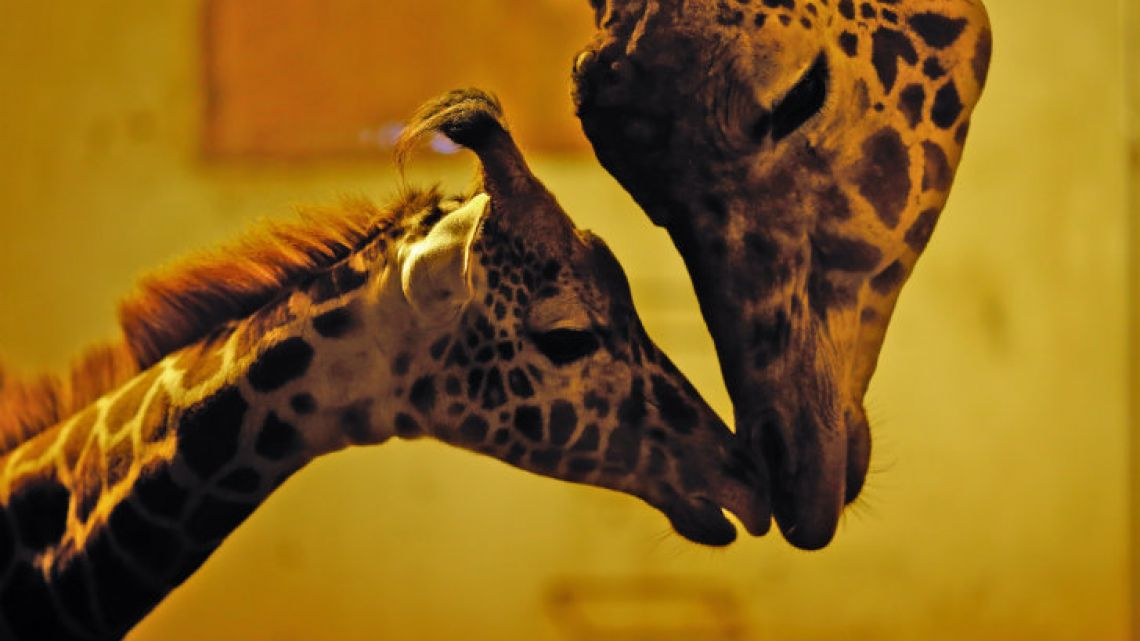 Ciro the giraffe interacts with his late mother Shaki at their enclosure.