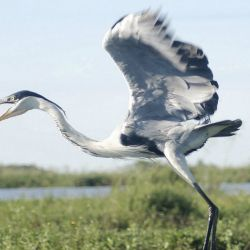 A cocoi heron (garza mora) takes to the air.