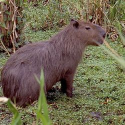 A capybara (carpincho) in the Esteros del Iberá.