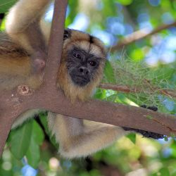 A howler monkey (carayá) in the gallery forest outside Colonia Carlos Pellegrini.