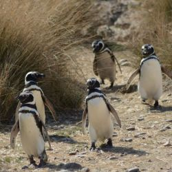 pinguinos Madryn