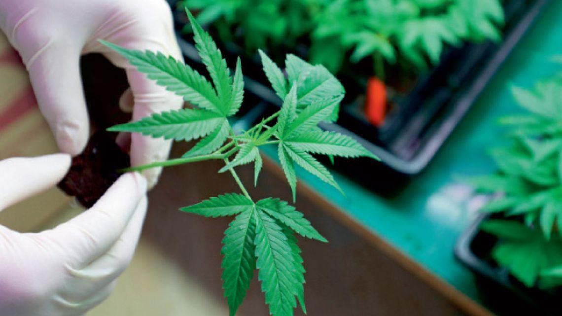 cannabis-6
