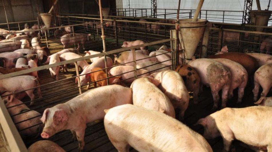 PRODUCCIÓN Y SUBA. En promedio, hoy le cuesta al productor de cerdos casi 44 pesos por kilo.