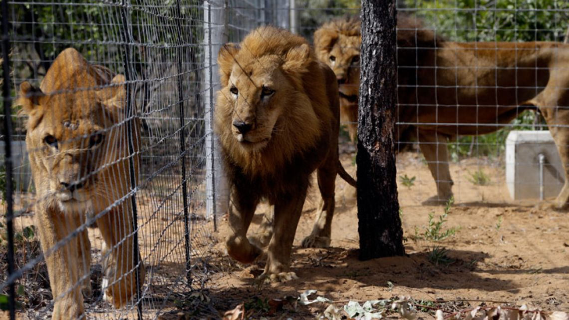 Former circus lions walk inside an enclosure at Emoya Big Cat Sanctuary in Vaalwater, South Africa, after 33 rescued lions from various circuses in Peru and Colombia were relocated to live out the rest of their lives in the private sanctuary.
