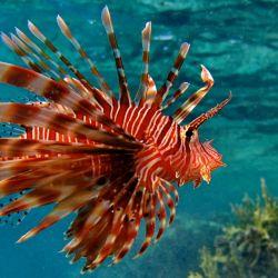 Concurso para cazar al pez león en Aruba por la depredación que produce en sus costas.