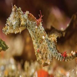 Un equipo internacional de biólogos descubrió y clasificó una nueva y fascinante especie llamada Hippocampus japapigu, que mide sólo 15 milímetros de largo.