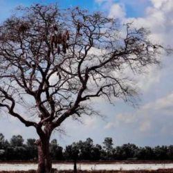 El fenómeno climático acelera su crecimiento pero los vuelve más débiles.