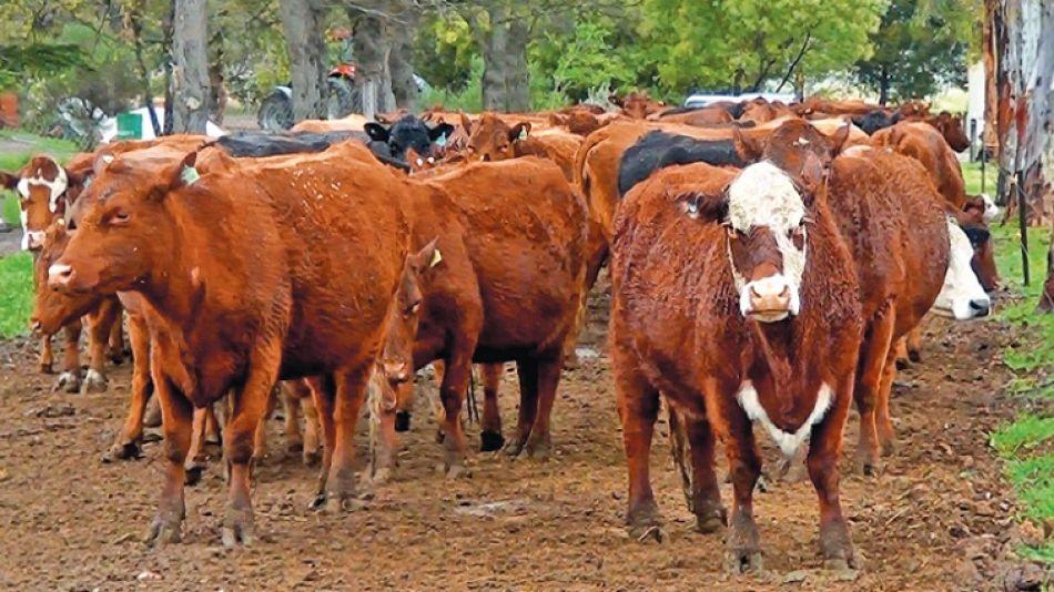 El porcentaje de preñez se ubica en el 94% y la parición en el 92%. Las vaquillonas se inseminan en IATF. Las vacas con servicio natural.