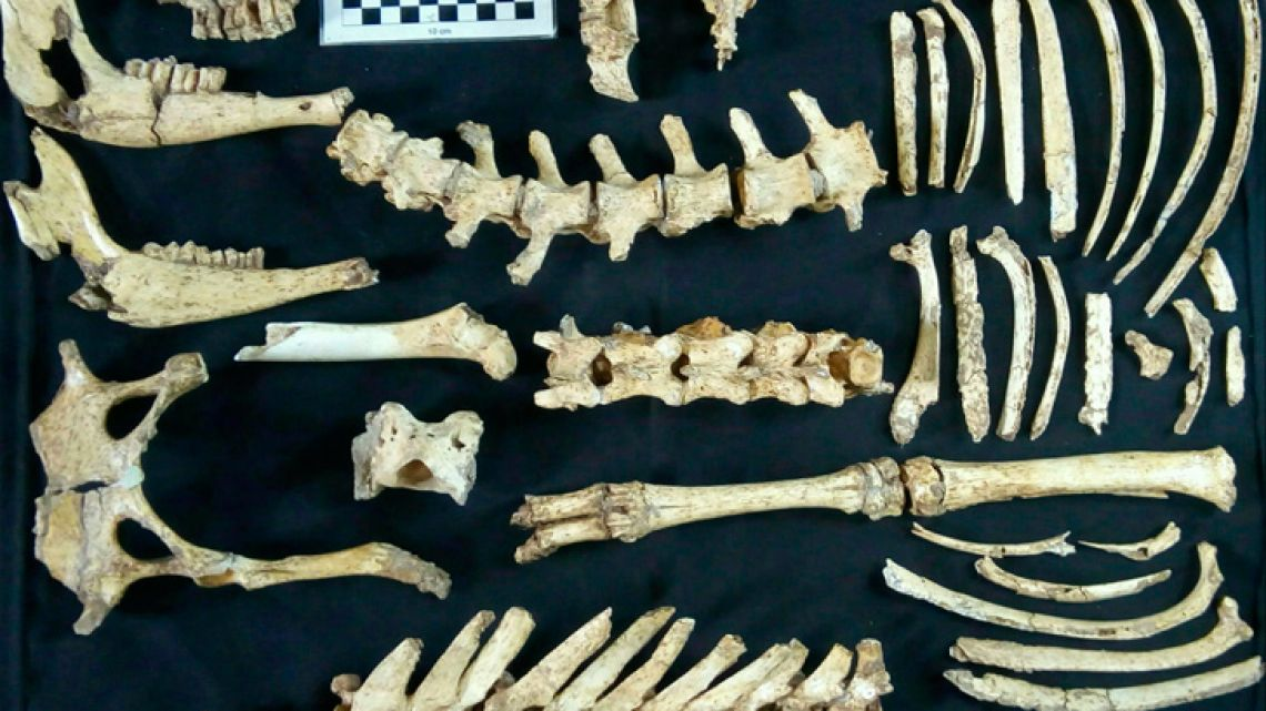 """Handout picture taken on October 26, 2018 and released by the Museo Paleontologico """"Fray Manuel de Torres"""" on January 7, 2019 showing fossil bones of a prehistoric deer specimen found recently at the Campo Sposito palaeontological site in San Pedro, in the north of the province of Buenos Aires. A very well preserved prehistoric deer fossil specimen was recently found in San Pedro, the University of La Matanza reported. The fossil includes teeth, parts of its extremities and the vertebrate column, practically 70 percent of the animal."""