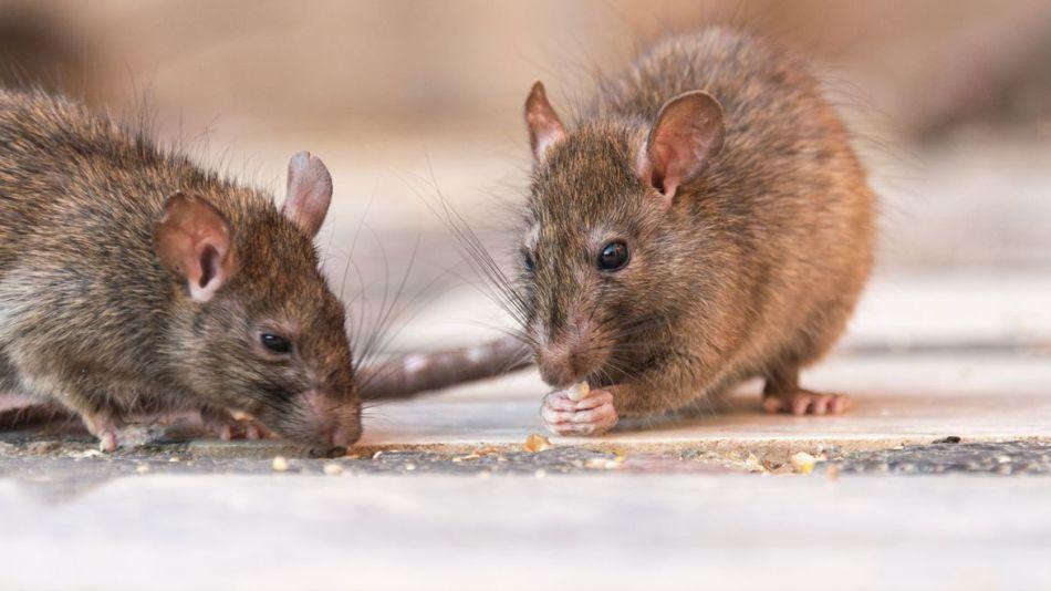 raton colilargo hantavirus