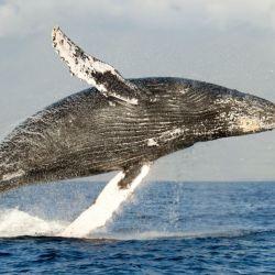 Un equipo científico australiano, descubrió algo insospechado cuando estudió a 93 ballenas jorobadas.
