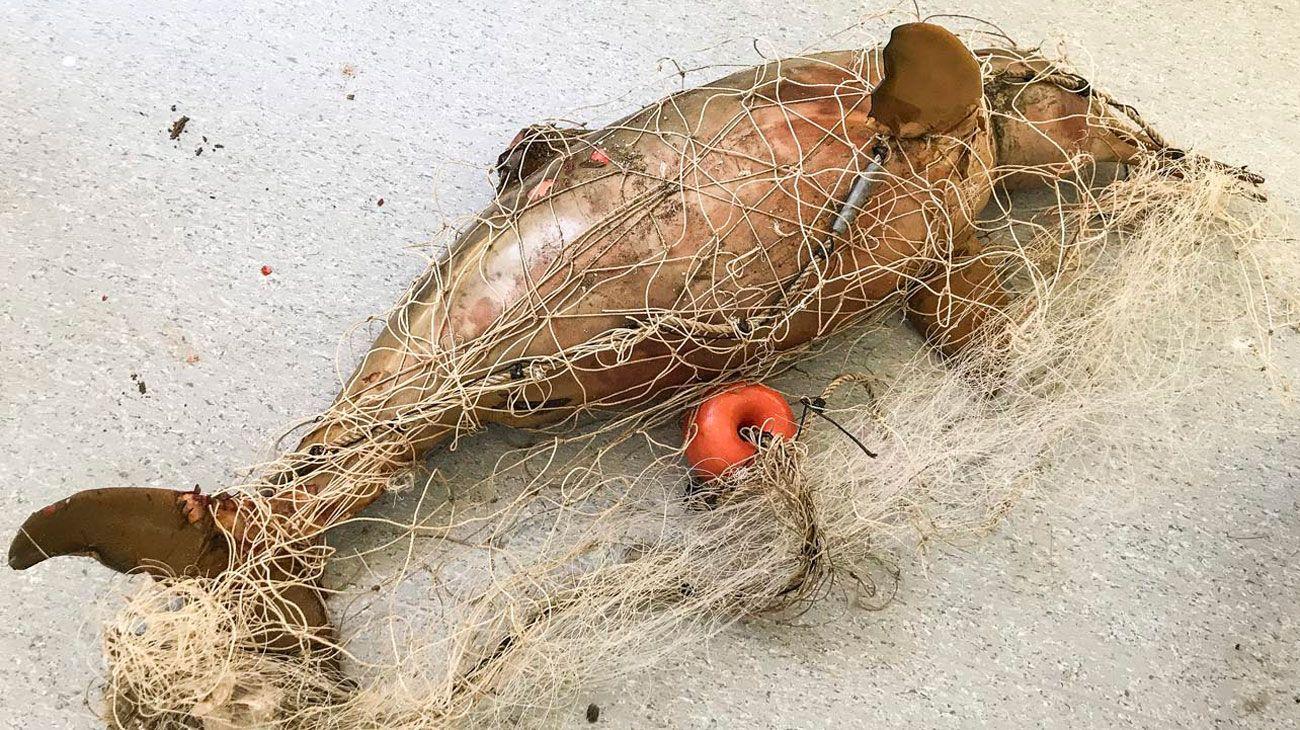 Vulnerables. Los lobos marinos, las tortugas, los delfines franciscanos y las aves son las especies más amenazadas. Ya se han registrado residuos plásticos en peces, moluscos y crustáceos. Queda probar si pueden pasar a través de la cadena alimentaria.