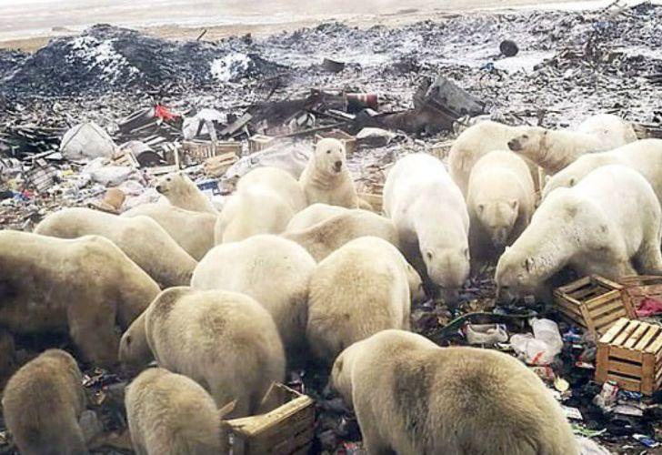invasion de osos polares rusia